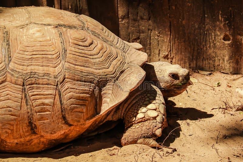 Fin vers le haut de la tortue stimulée africaine se reposant dans le jardin sous la lumière chaude du soleil images stock