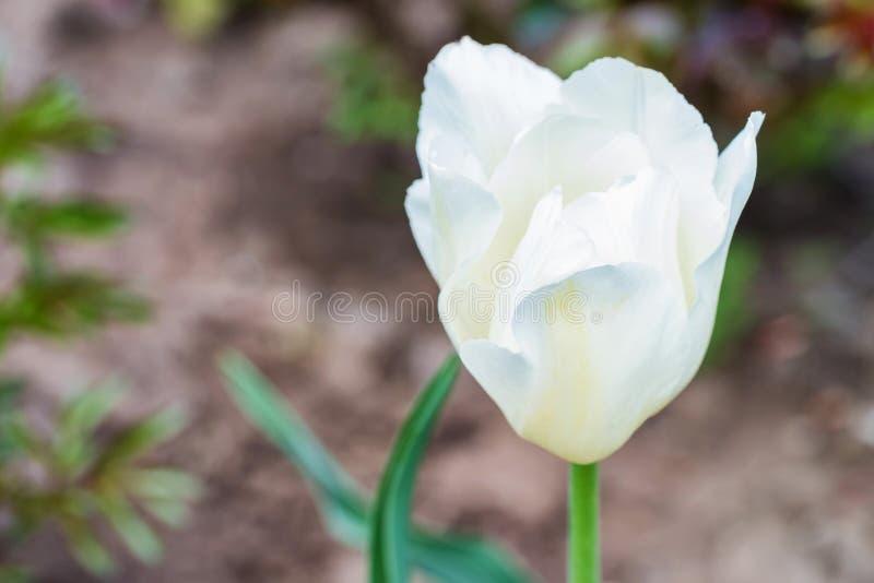 Fin vers le haut de la tulipe blanche simple fleurissant dehors photographie stock