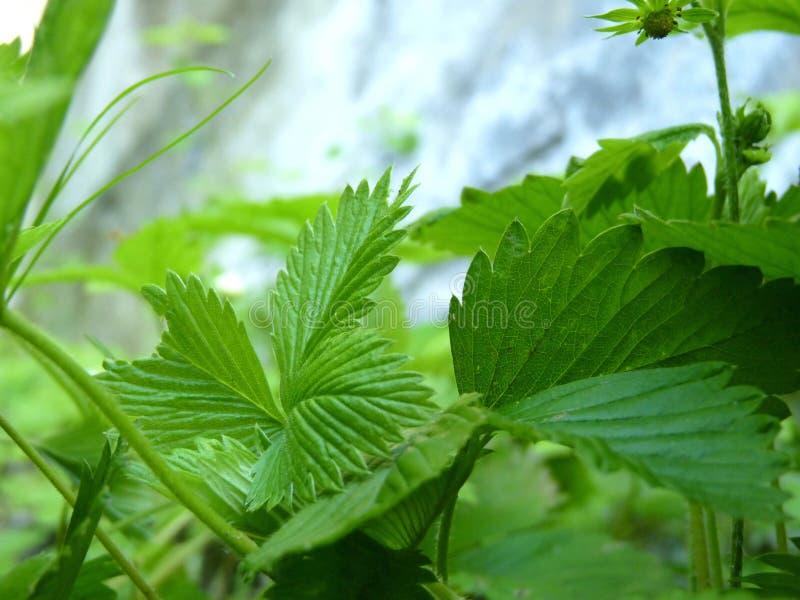 Fin vers le haut de macro détail des feuilles de fraisier commun photo libre de droits