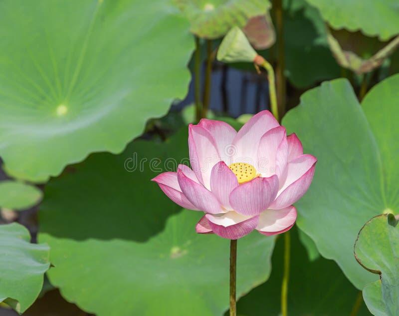 Fin vers le haut de nucifera rose de Nelumbo de fleur de lotus ou de fleur de lotus sacré avec les feuilles vertes fleurissant da image libre de droits