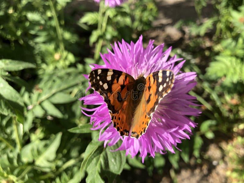 Fin vers le haut de papillon d'urticae de Nymphalis sur la fleur violette photo stock