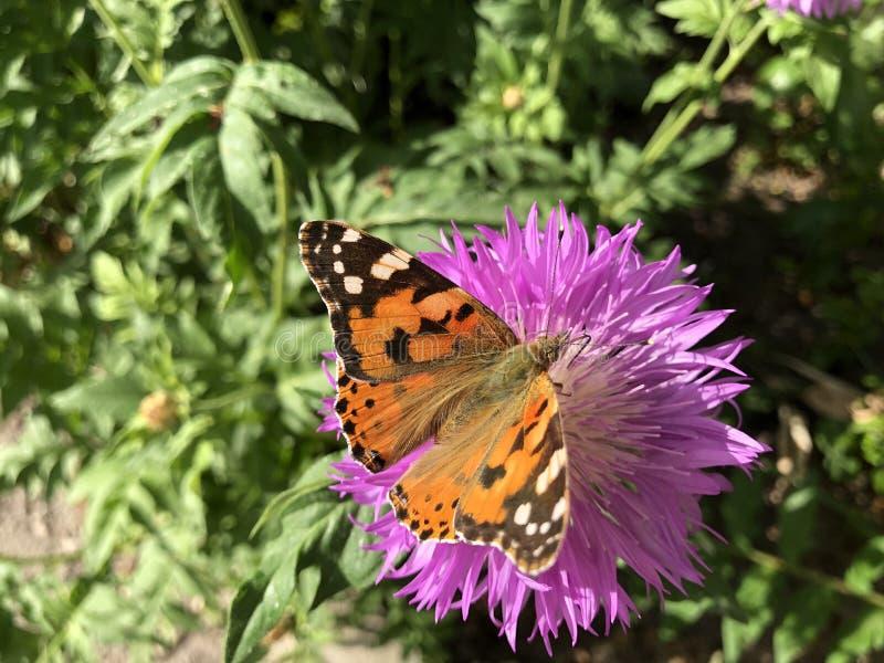 Fin vers le haut de papillon d'urticae de Nymphalis sur la fleur violette photos stock
