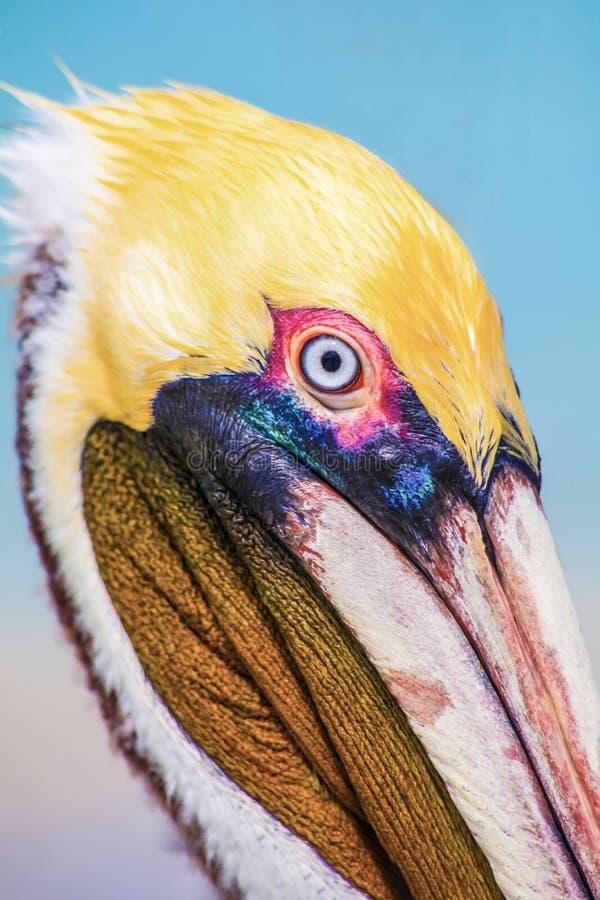 Fin vers le haut de portait de tête de pélican sur la plage Varadero, Cuba images stock