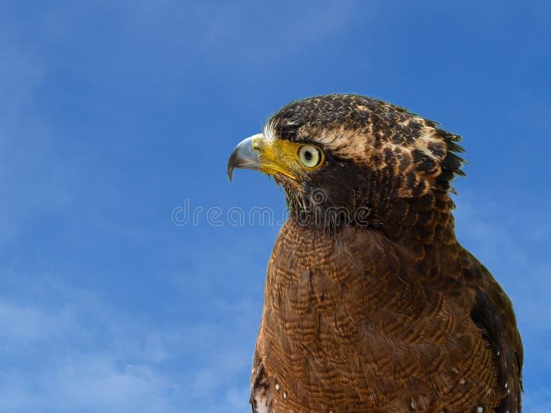 Fin vers le haut de portrait de faucon pérégrin images libres de droits