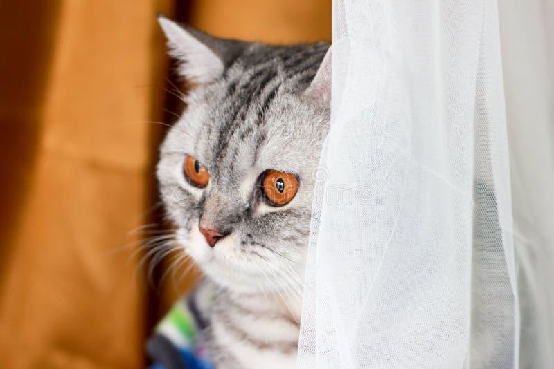 Fin vers le haut de shorthair britannique de chat tigré avec les yeux oranges image stock