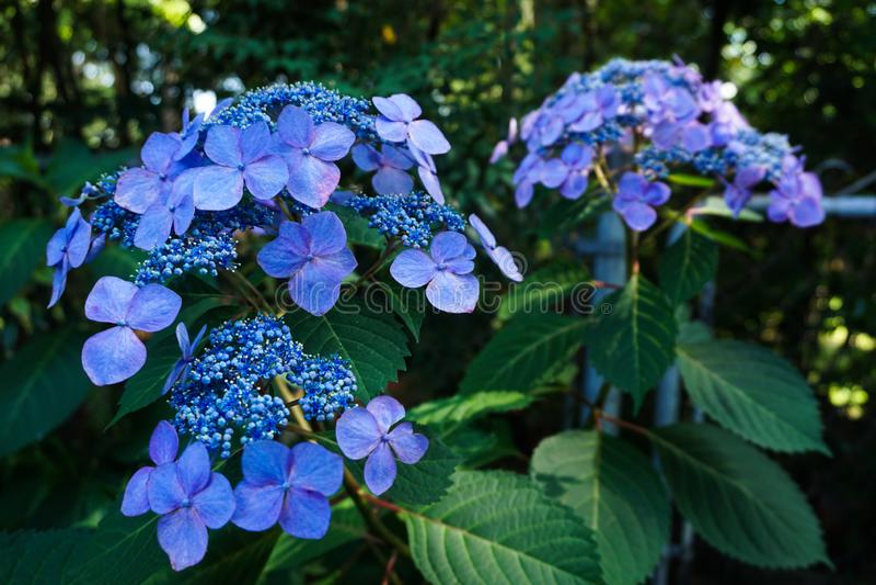 Fin vers le haut de tête de fleur bleue vive d'hortensia de chapeau de dentelle de macrophylla d'hortensia images stock