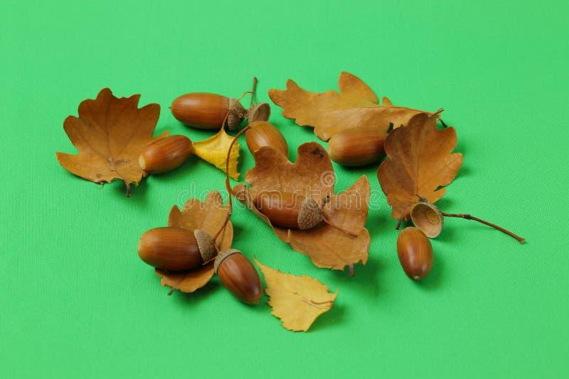 Fin vers le haut de vue des feuilles et des écrous de chêne brun d'isolement sur le fond vert Milieux/textures colorés de nature image libre de droits