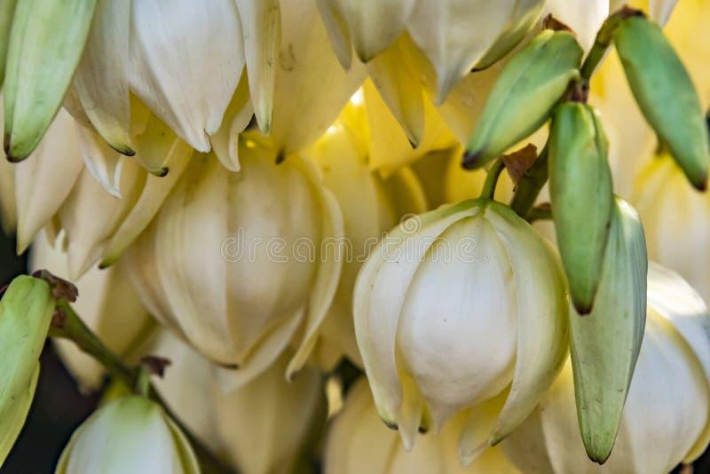 Fin vers le haut des fleurs blanches de campanule photos libres de droits