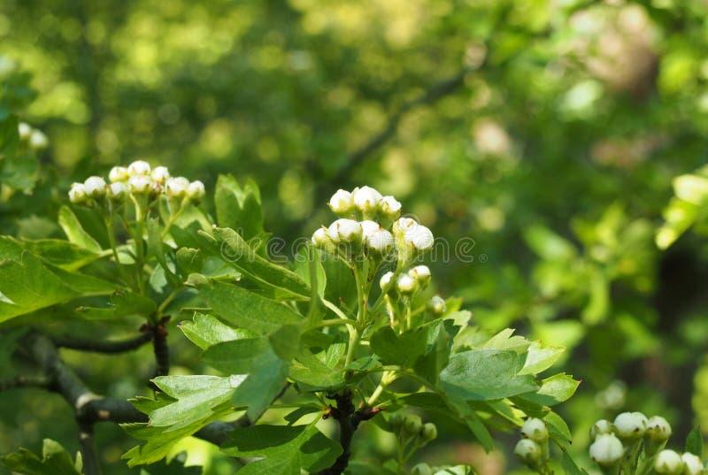 fin vers le haut des fleurs de bourgeonnement d'aubépine avec les feuilles vert clair de ressort sur un fond ensoleillé vibrant d images stock