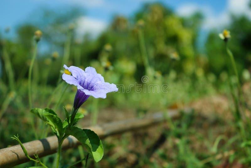 Fin vers le haut des fleurs pourpres de floraison de Minnieroot photographie stock