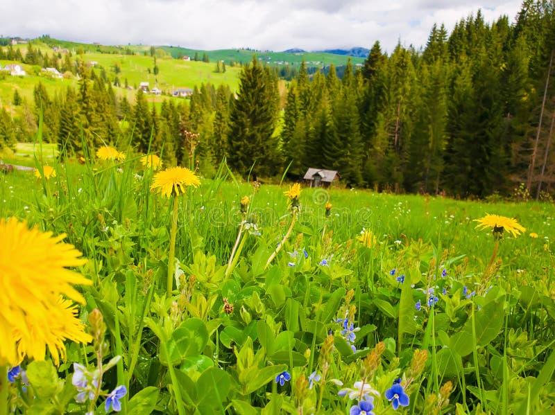 Fin vers le haut des pissenlits jaunes de floraison et des fleurs bleues minuscules sur les collines de Carpathiens Scène merveil photos libres de droits
