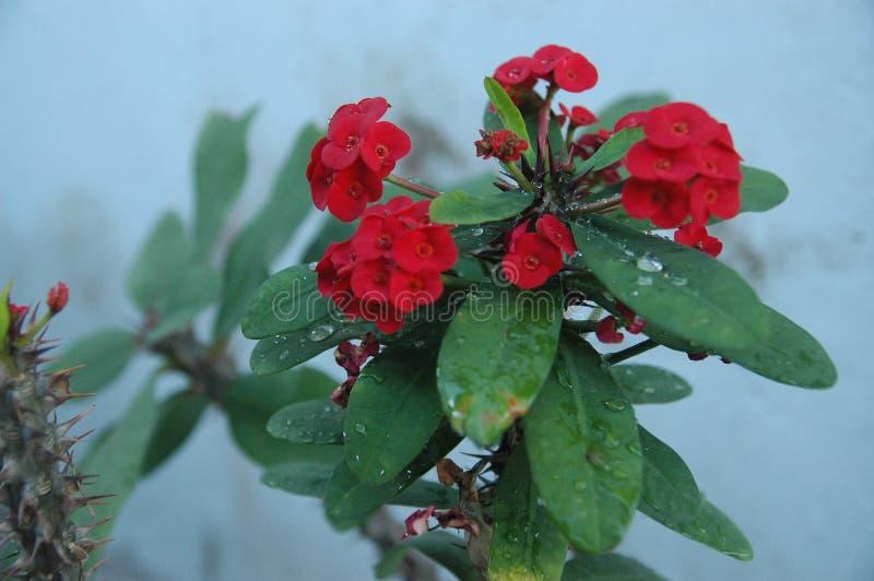 Fin vers le haut des roses rouges, des fleurs rouges et de l'idéal vert de feuille pour le fond photographie stock libre de droits