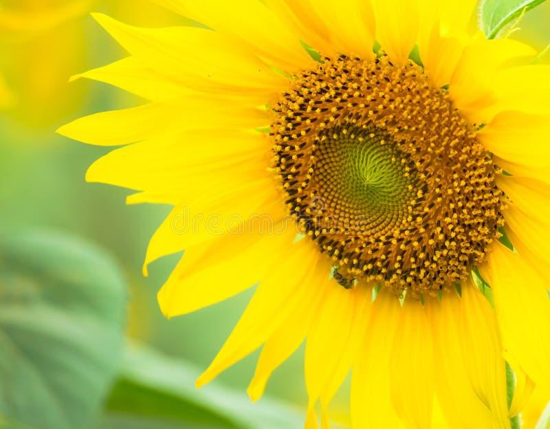 Fin vers le haut des tournesols frais et des graines de pollen grandissant dans la ferme organique dans le paysage de campagne de images libres de droits