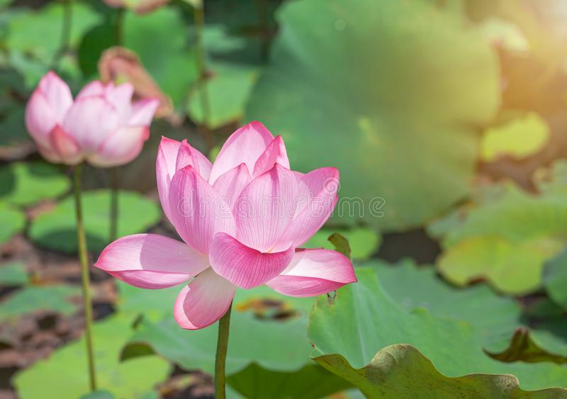 Fin vers le haut du nucifera rose de Nelumbo de fleur de lotus ou de fleur de lotus sacré fleurissant dans le lac le jour ensolei images stock