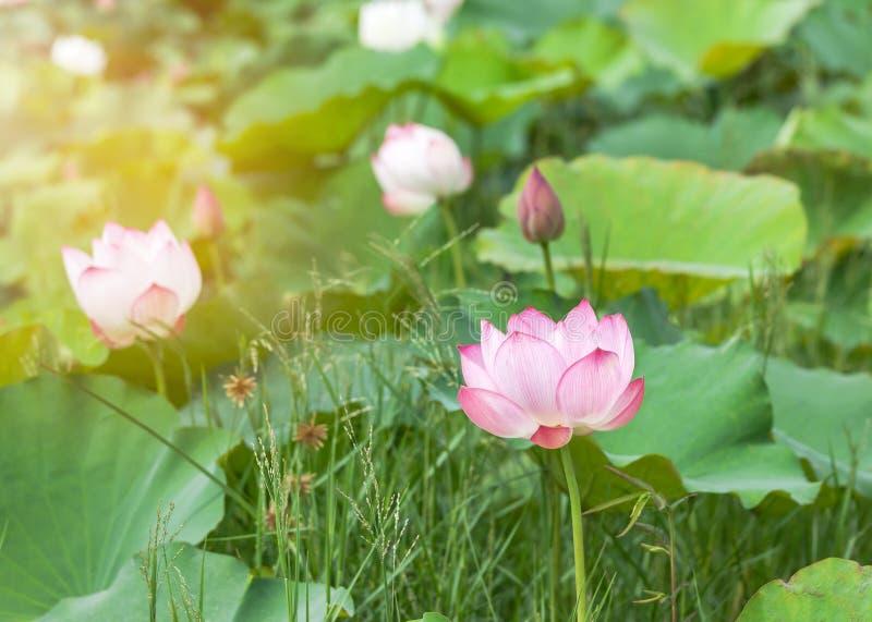 Fin vers le haut du nucifera rose de Nelumbo de fleur de lotus ou de fleur de lotus sacré fleurissant dans le lac le jour ensolei photo libre de droits