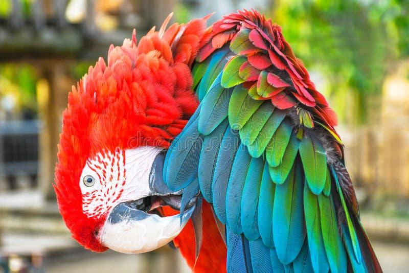 Fin vers le haut du portrait principal de pousse d'un ara color? d'?carlate d'aile de vert de perroquet image stock