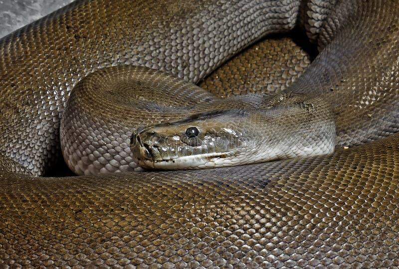 Fin vers le haut du python birman de vert de Patternless lové sur le plancher images stock