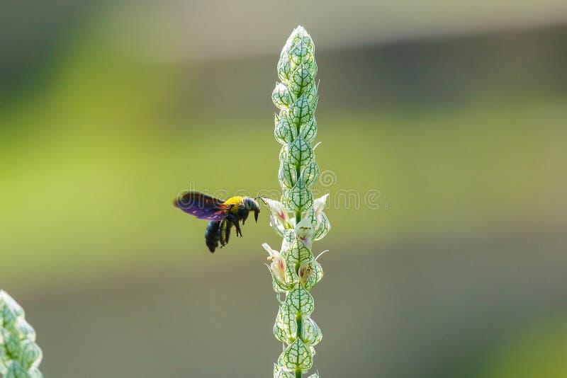 Fin vers le haut du vol d'abeille de charpentier, sur la fleur, tache floue, foyer mou photos libres de droits