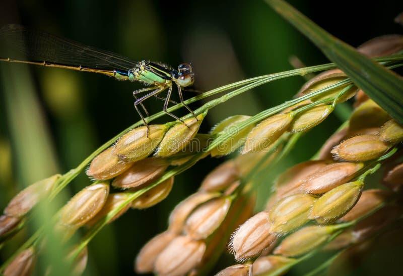 Fin verte de libellule vers le haut du tir se reposant sur un riz japonais d'usine de riz prêt pour la récolte photos libres de droits