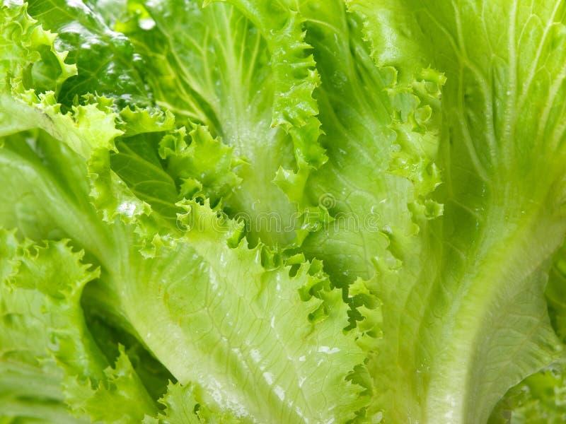 Fin verte moissonnée fraîche de laitue vers le haut photos libres de droits