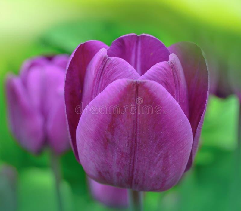 Fin violette foncée de tulipe  Tulipes violettes vives cum laude photos libres de droits