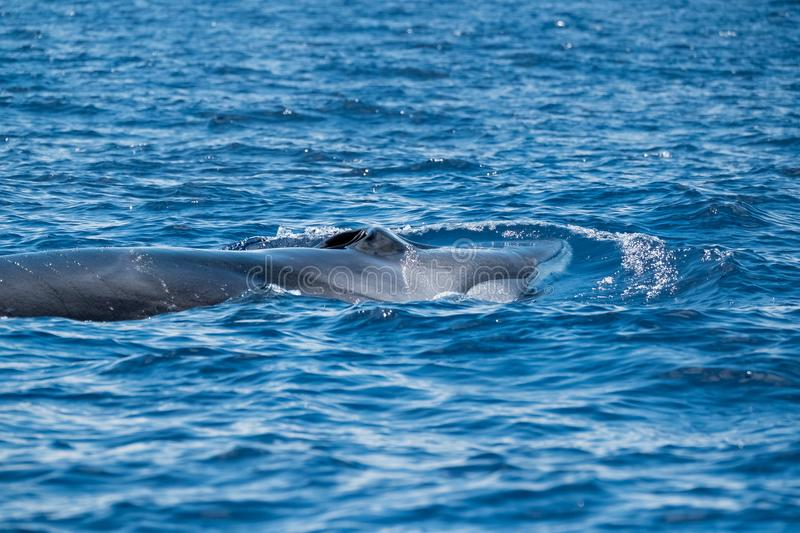A fin whale at the surface royalty free stock photography