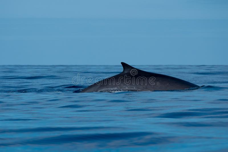 Fin whale at the surface. A fin whale seen near Pico island in the Azores, on its annual migration to colder waters in the North Atlantic stock photos