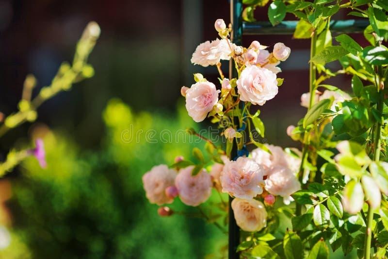 Fina rosa rosor växer upp i sommaren Bygdordning av blommor royaltyfri bild