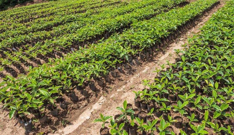 Finca Organicznie kawa, Ekwador obrazy royalty free