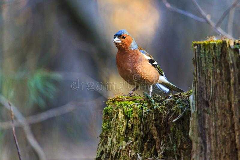 Finch είναι στο δάσος κολοβωμάτων την άνοιξη στοκ φωτογραφία