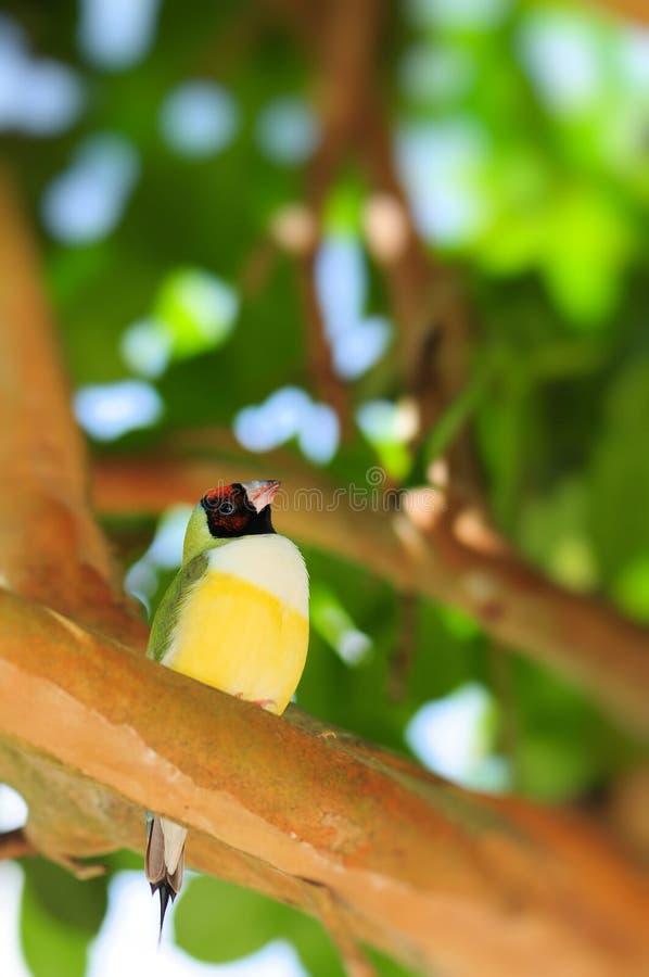 Finch ουράνιων τόξων πουλί στοκ εικόνες