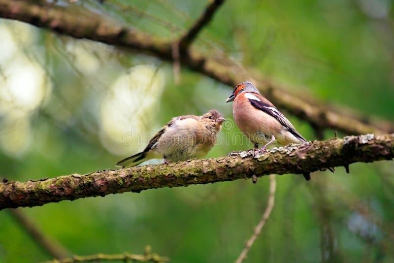 Finch που ταΐζει το νεοσσό του στοκ φωτογραφίες με δικαίωμα ελεύθερης χρήσης
