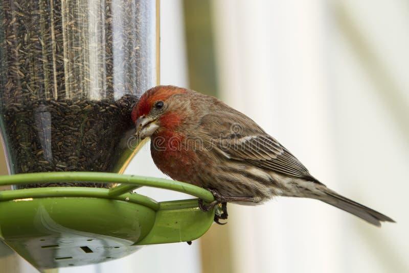 Finch σπιτιών στον τροφοδότη πουλιών στοκ φωτογραφία
