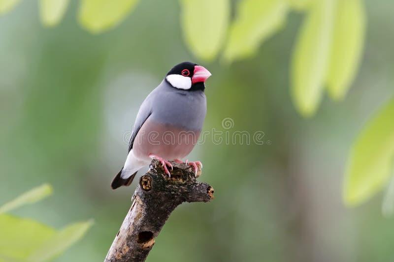 Finch της Ιάβας σπουργιτιών της Ιάβας θηλυκό oryzivora Lonchura στοκ φωτογραφίες