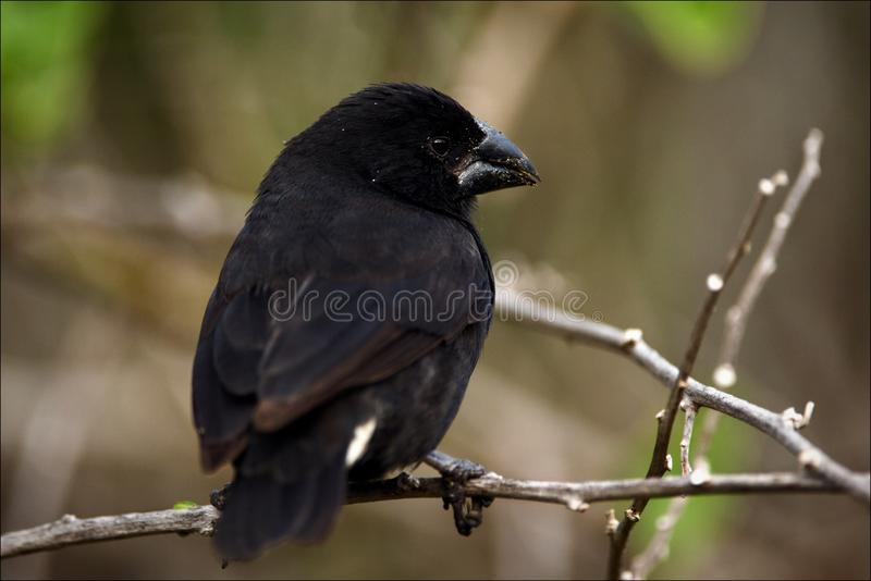 Finch. royalty free stock images