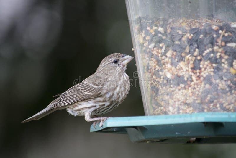 Finch at Bird feeder stock photo