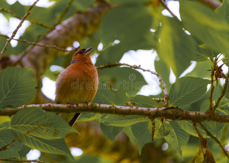 Finch Bird no ramo imagens de stock