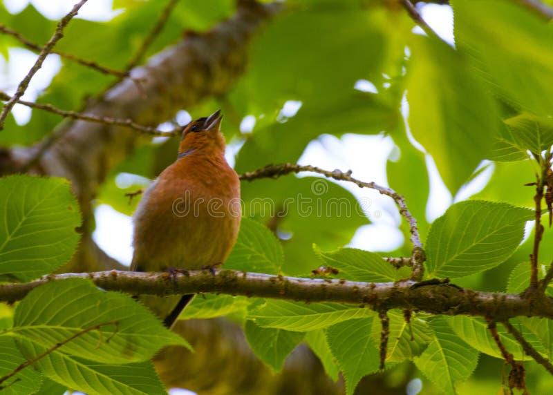 Finch Bird no ramo foto de stock royalty free