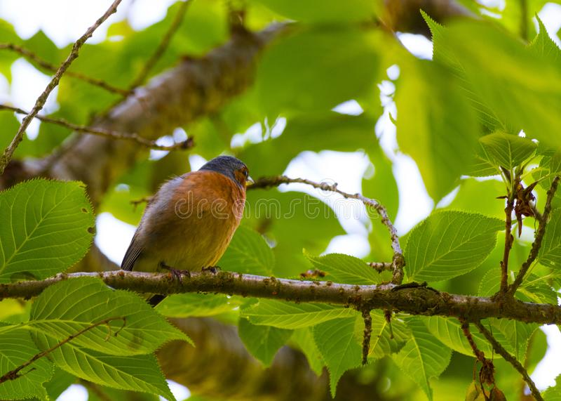 Finch Bird no ramo fotografia de stock