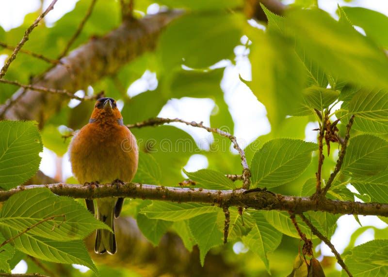 Finch Bird no ramo imagens de stock royalty free