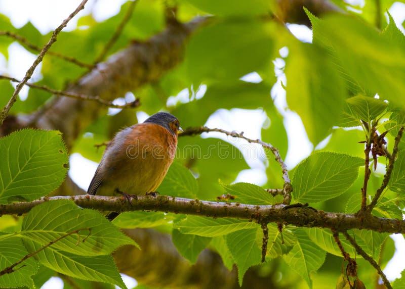 Finch Bird no ramo foto de stock