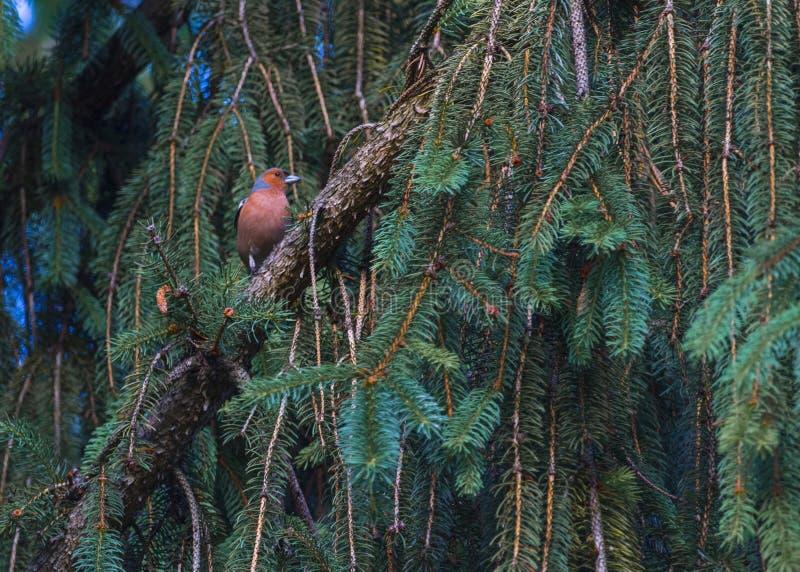Finch Bird no ramo fotos de stock royalty free