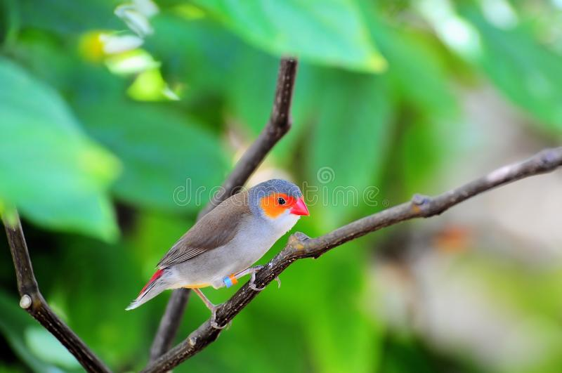 Finch Bird Standing On Branch Royalty Free Stock Photo