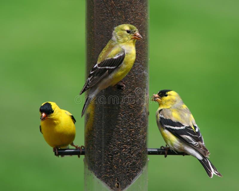 Finch Birds all'alimentatore fotografia stock