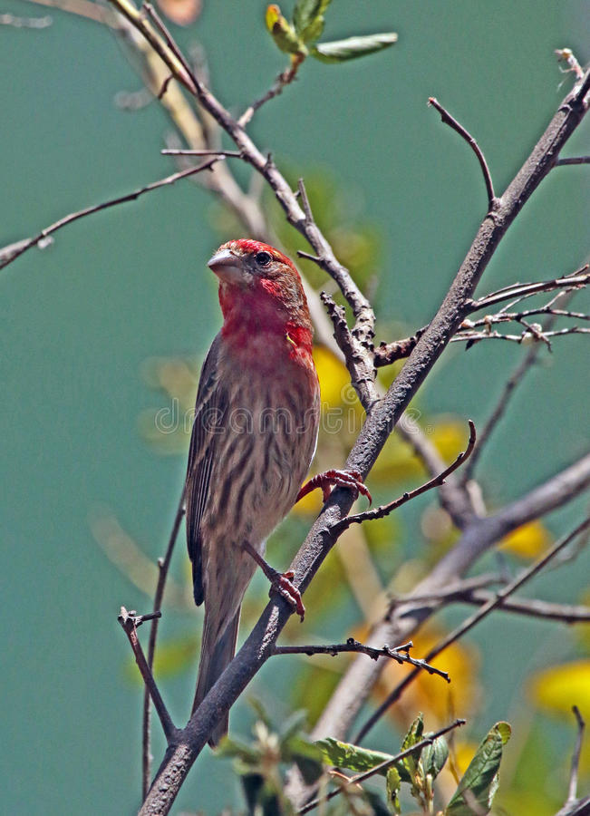 Finch. Common Male House Finch On Tree Limb stock photos