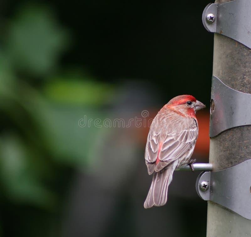 finch głowiasta głodna czerwony zdjęcie royalty free