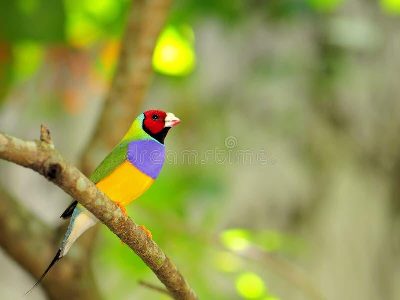 Finch Gouldian πουλί που σκαρφαλώνει στον κλάδο, Φλώριδα στοκ εικόνα με δικαίωμα ελεύθερης χρήσης