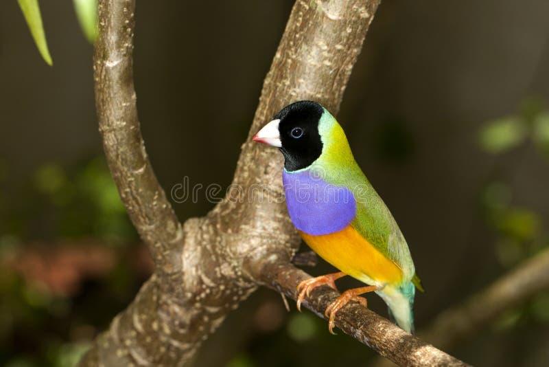 Finch Gouldian (gouldiae Erythrura) στοκ εικόνες
