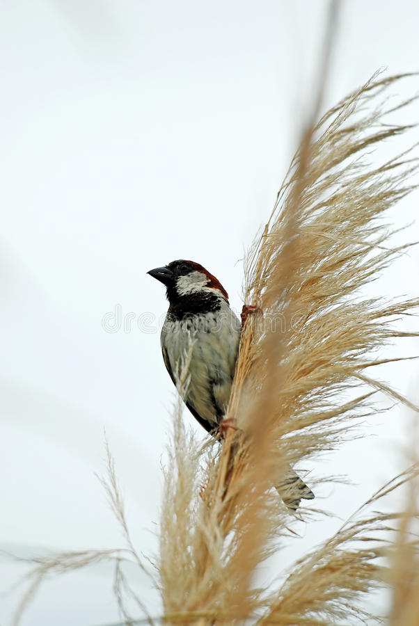 Finch on long grass