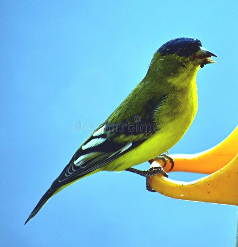 Finch na dozowniku obraz royalty free